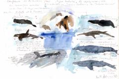 2020-44-Antarctique-les-cétacés-WCA